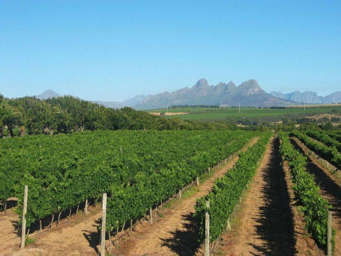 Stellenbosch Vineyard, near Cape Town