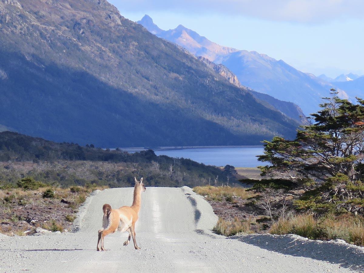 A guanacocrosses the road in Tierra del Fuego