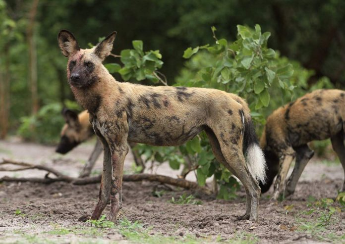 African Wild Dog Chobe National Park