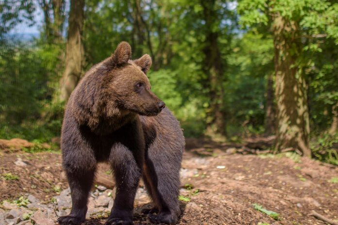 Albie the European brown bear (c) Andre Pattenden