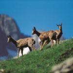 Andorra mountain goats