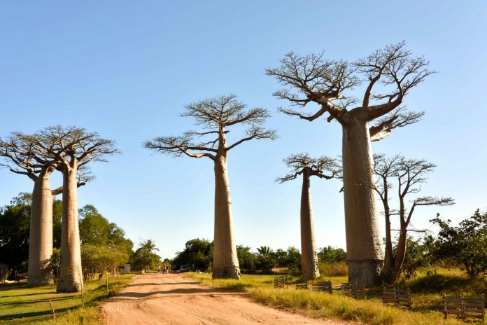 Avenue of Baobabs, Madagascar
