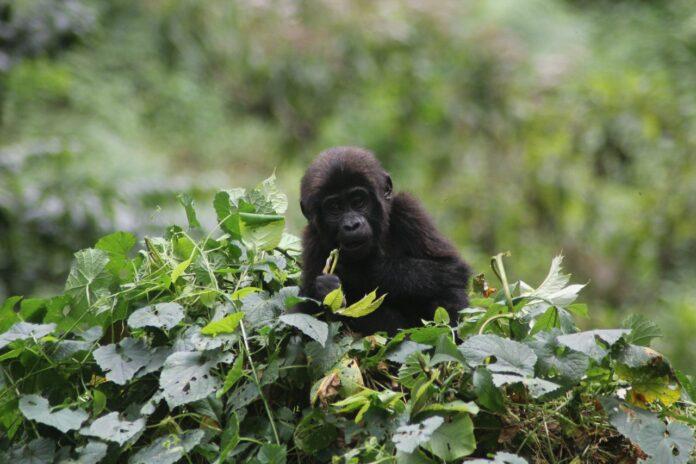 Baby Gorilla feeding at Bwindi Impenetrable National park