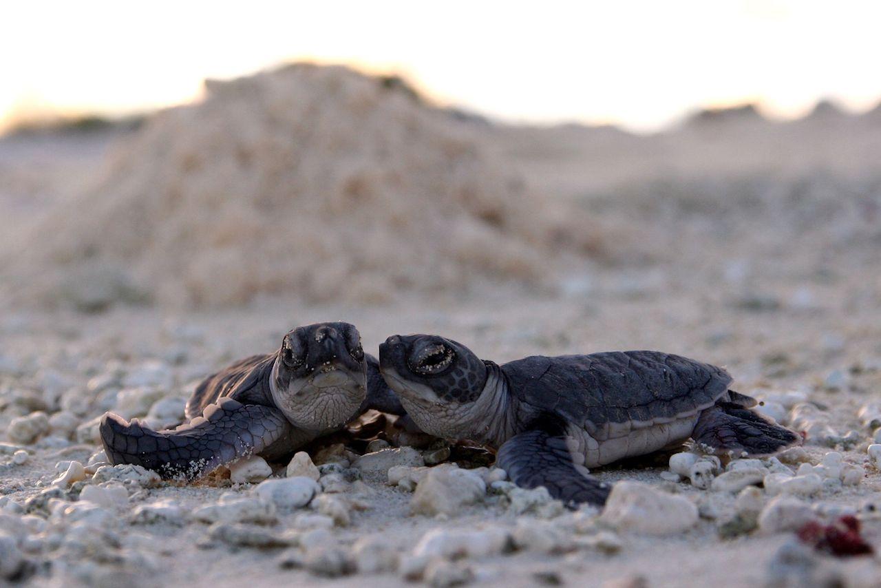 Baby green sea turtles