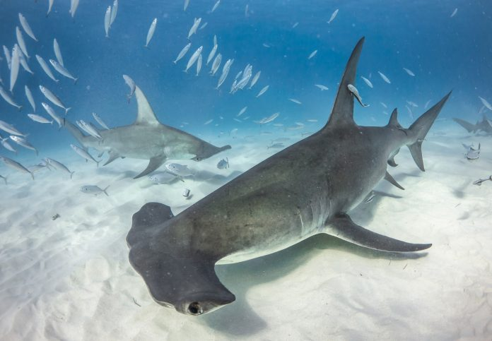 Bahamas dive with Great Hammerhead in Bimini