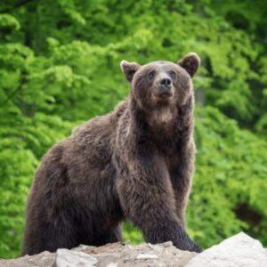 Bear, Romania