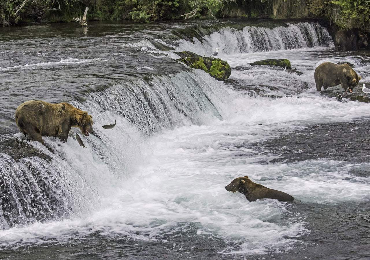 Bears at Brooks Falls
