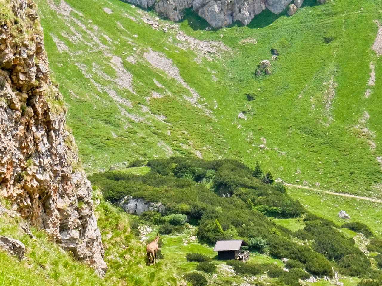 Brandenberg Alps, Tyrol - Chamois