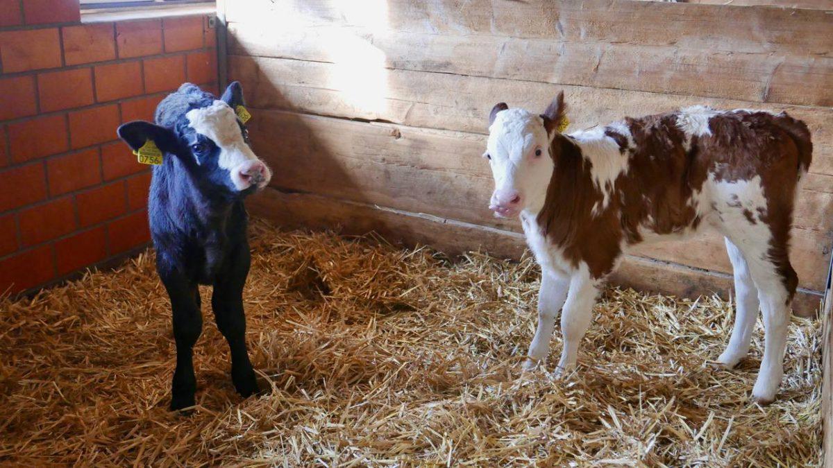 Calves Interlaken