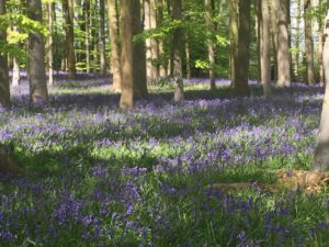 Bluebells at Coton Manor