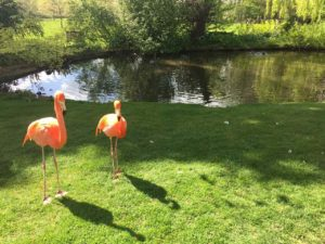 Coton Manor Flamingos