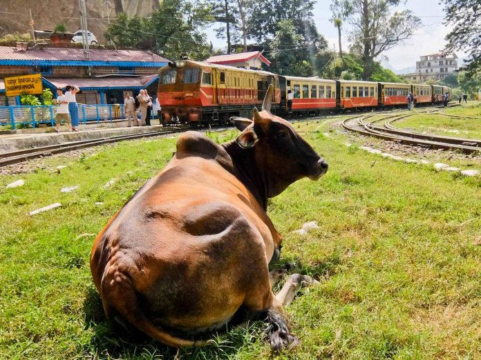 Cow at Station