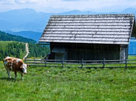 Cow on the Alpe Adria Trail