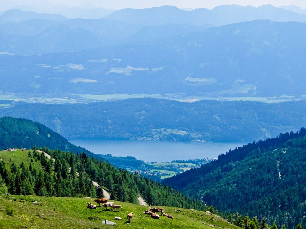 Cows above lake