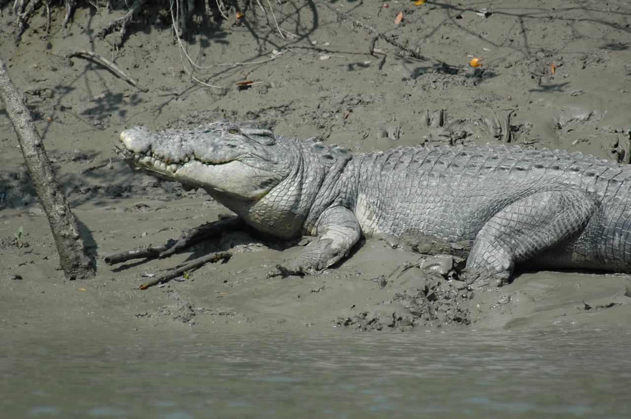 Crocodile Sighting in Sunderbans