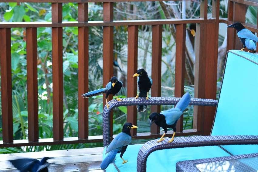 Yucatan jay birds on the balcony of Fairmont Mayacoba