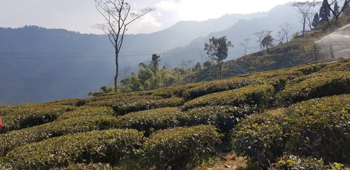 Darjeeling Tea Plantation
