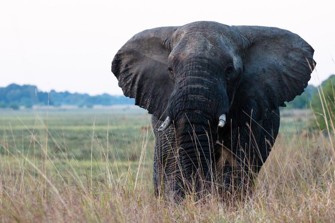 Elephant at Musekese Camp