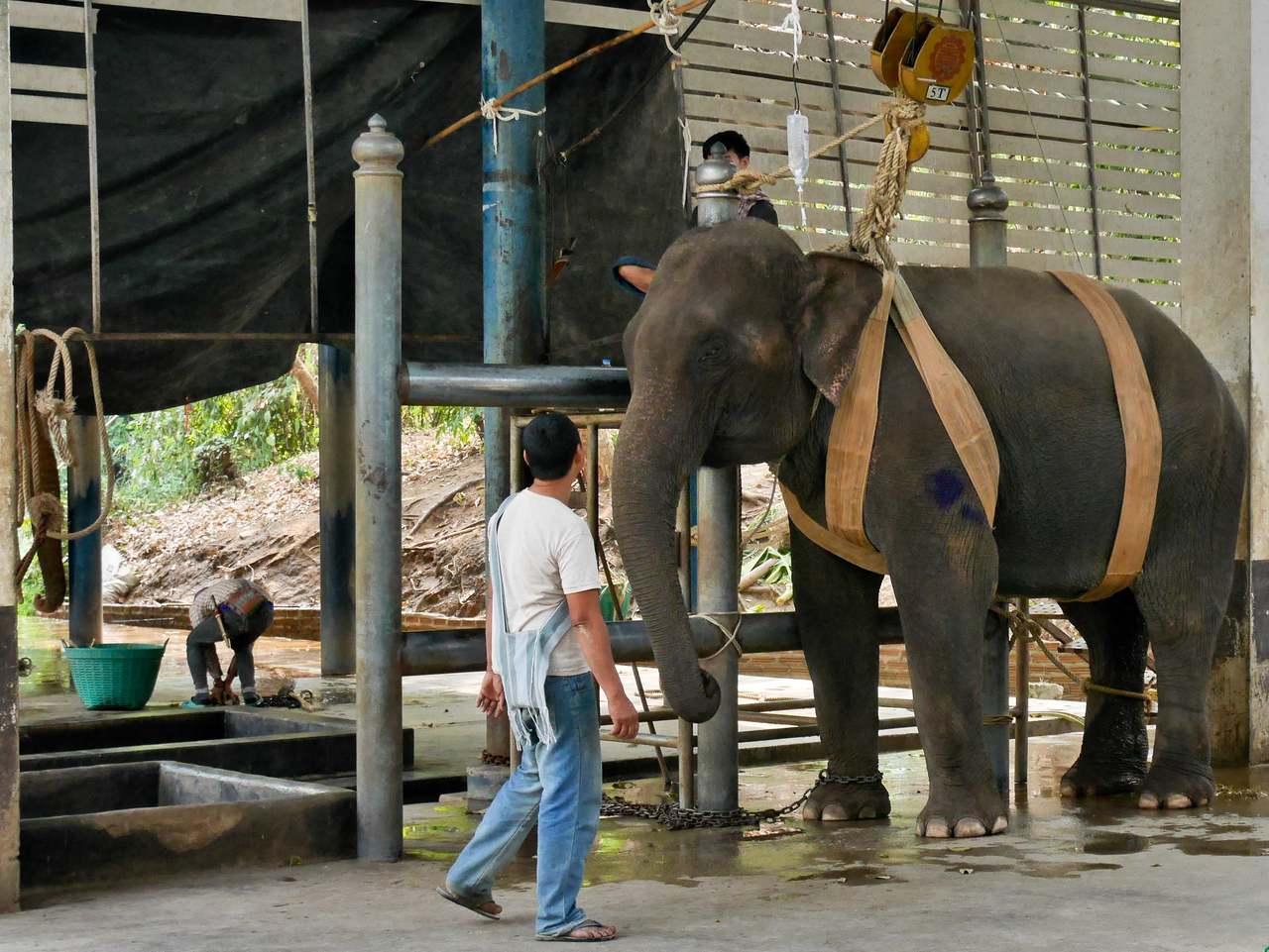 Elephant in Lapang hospital