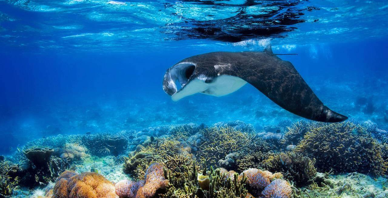 Furaveri Island - Manta Ray