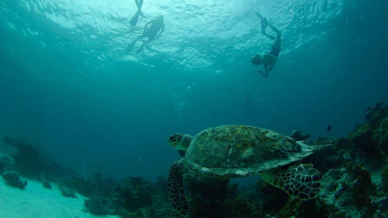 Furaveri snorkelling hawksbill turtle