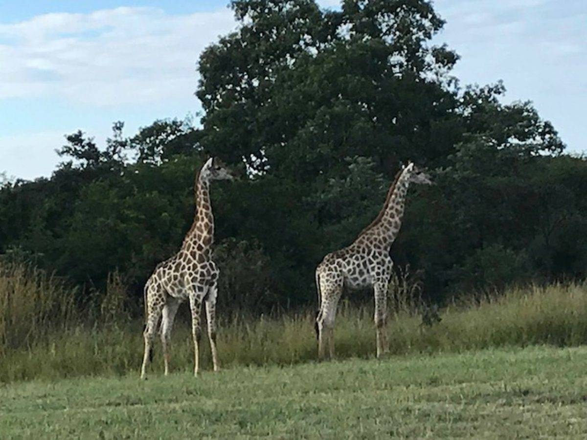 Giraffe, Matobo National Park, Zimbabwe