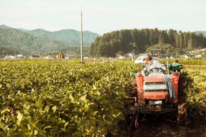 Harvesting dadachamame in Shonai