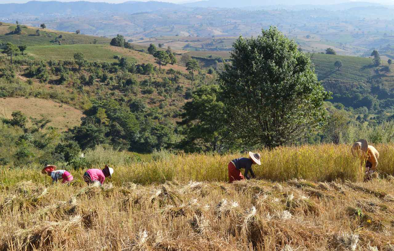 Harvesting rice on the trek from Kalaw to Inle Lake
