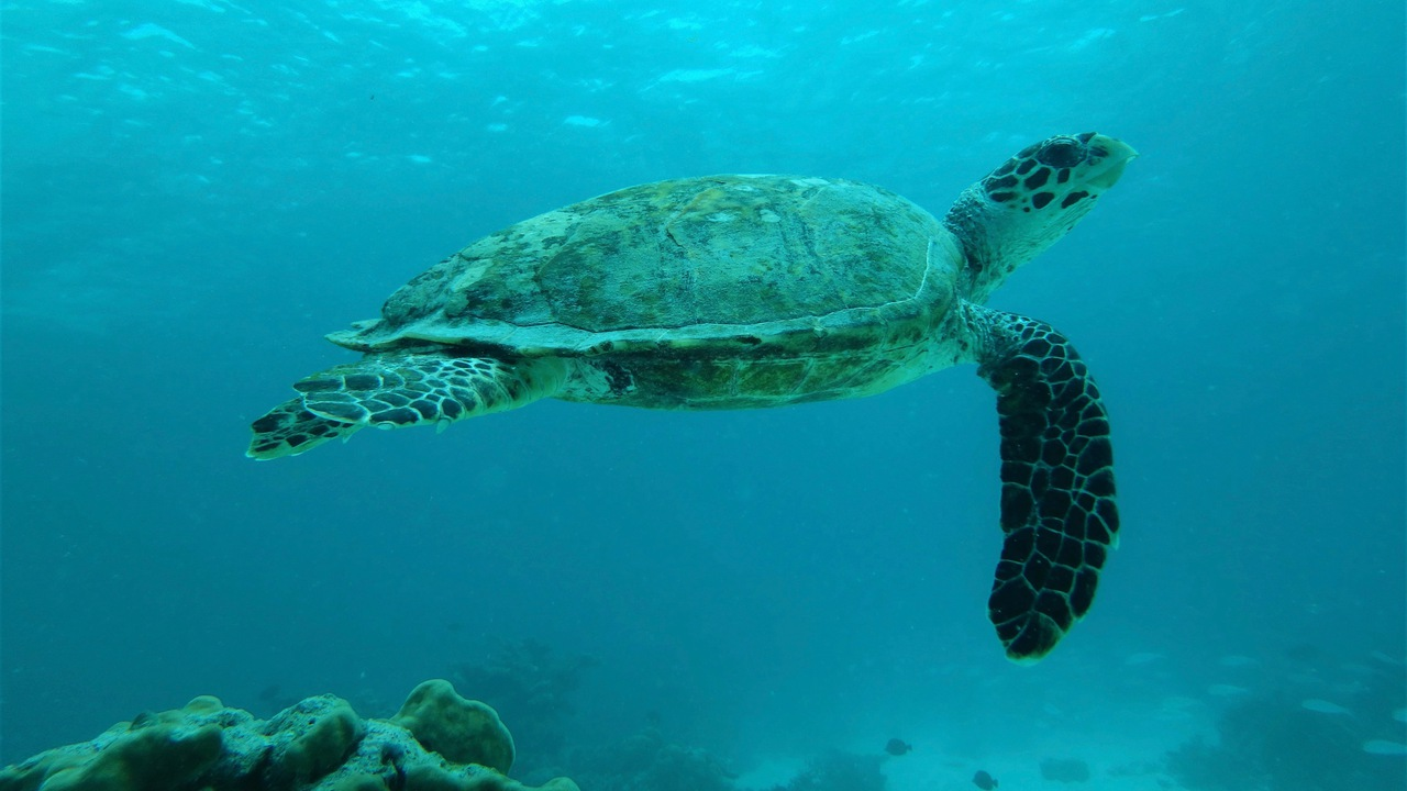 Snorkelling with the critically endangered hawksbill turtle