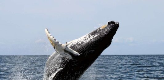Whale watching: humpback whale