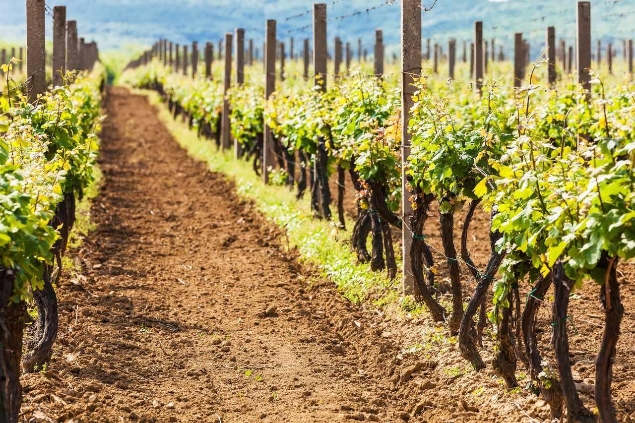 Ilok vineyard