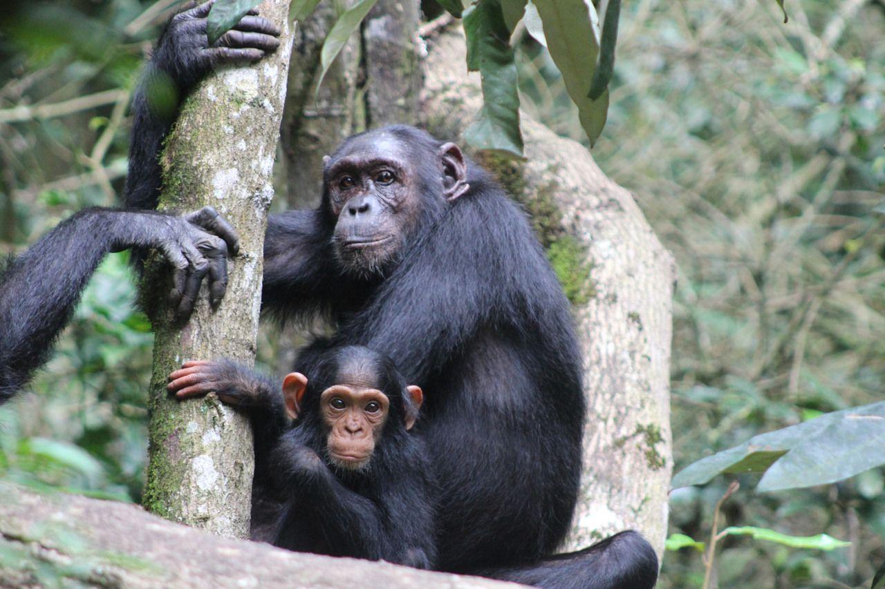 KageraSafaris_Chimpanzee - Kibale National Park, Uganda