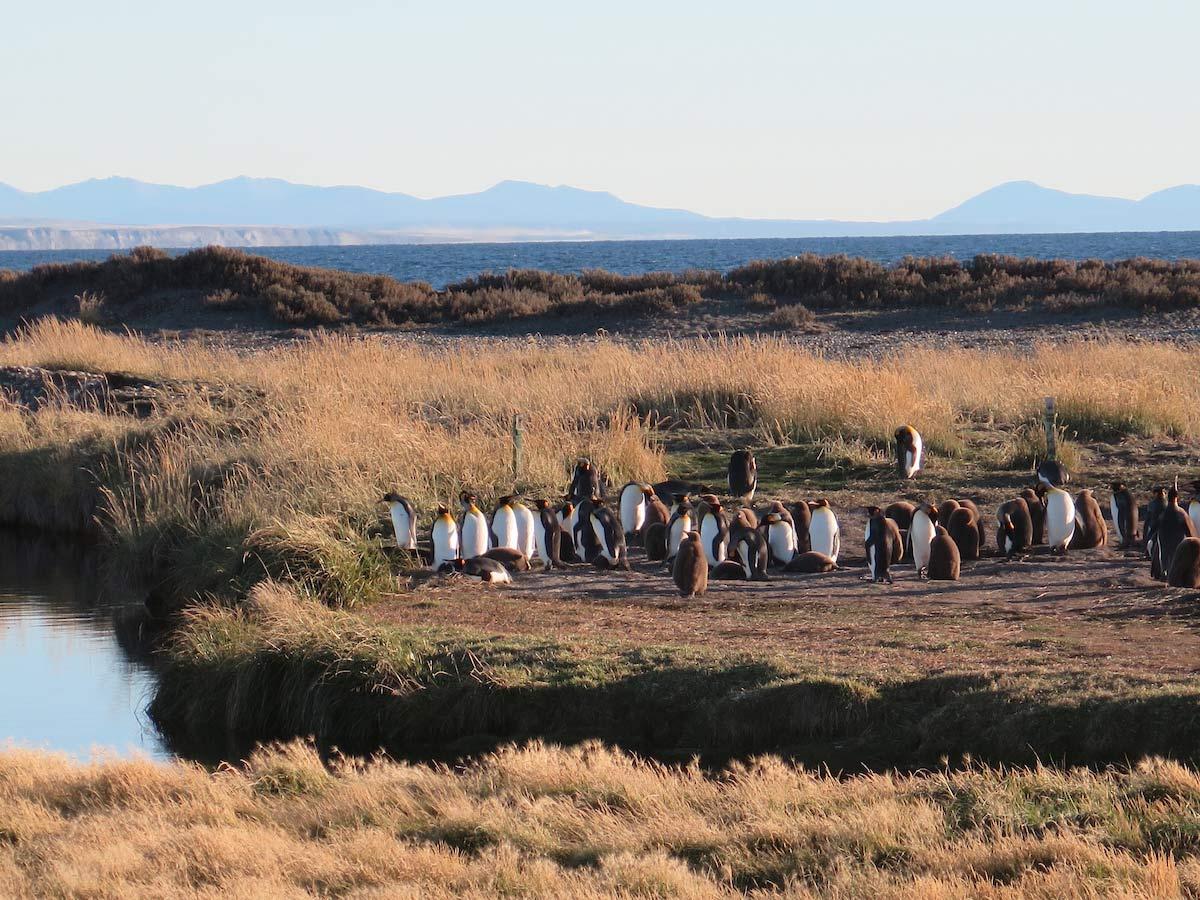King Penguin colony, Tierra del Fuego