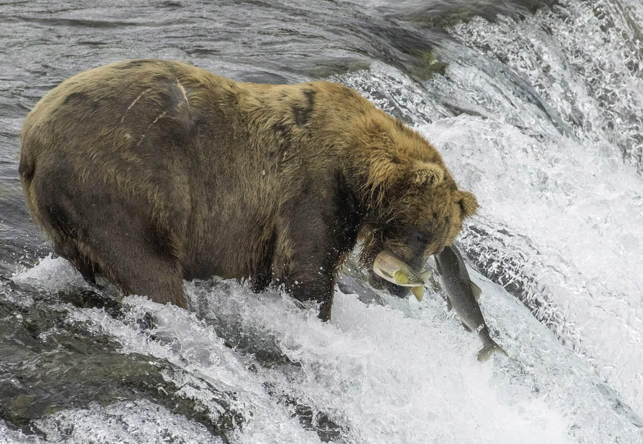 Lefty catching Salmon