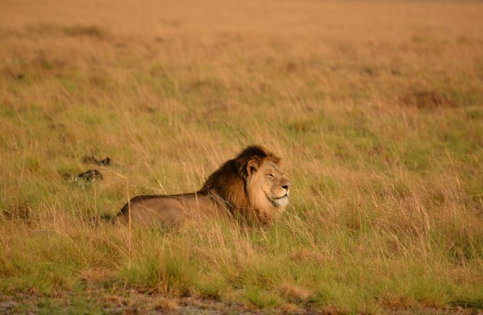 Lion, Majete National Park, Malawi