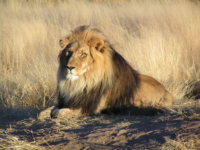 Lion lying down in Namibia