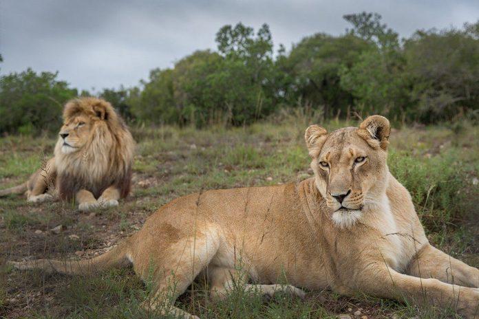 Lions at Born Free Big Cat Sanctuaries, Shamwari