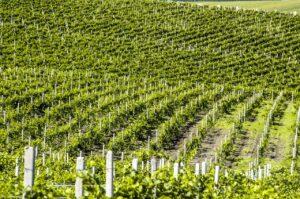 Winery molodva