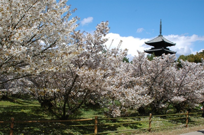 Ninna-ji Temple during spring blossom season