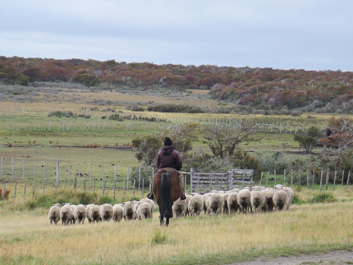 Olga Teresa Estancia worker giving asheep herding demonstration