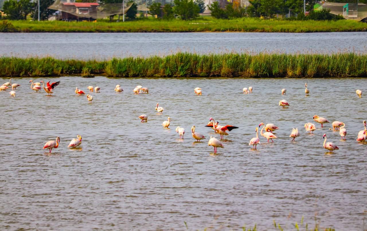 Ravenna Flamingos
