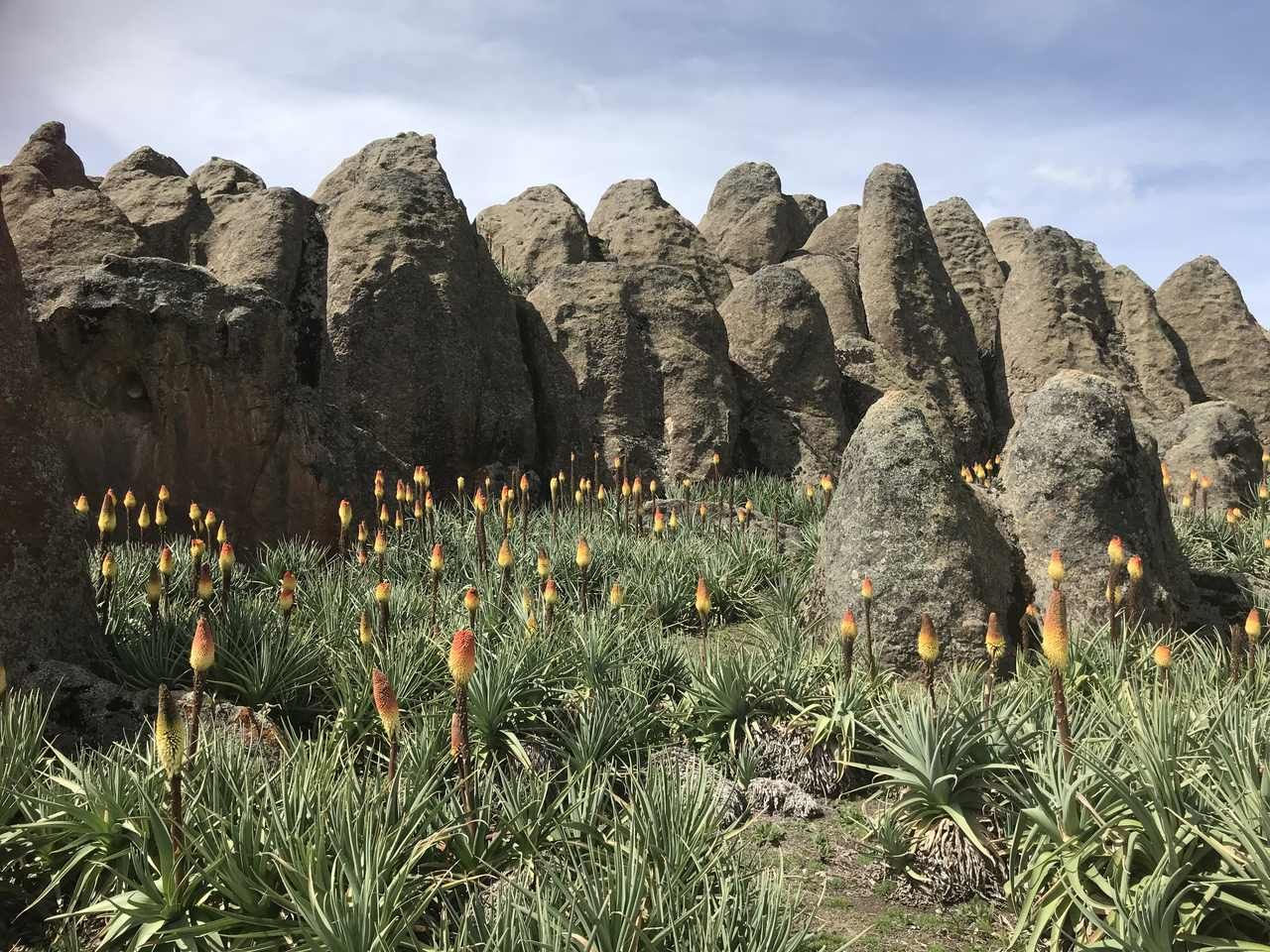 Red Hot Pokers grow wild in the Bale Mountains