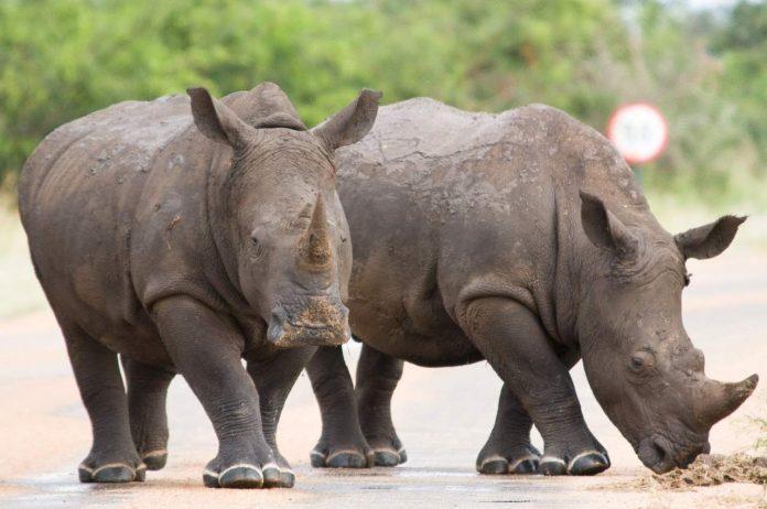 Rhinos at Mpumalanga