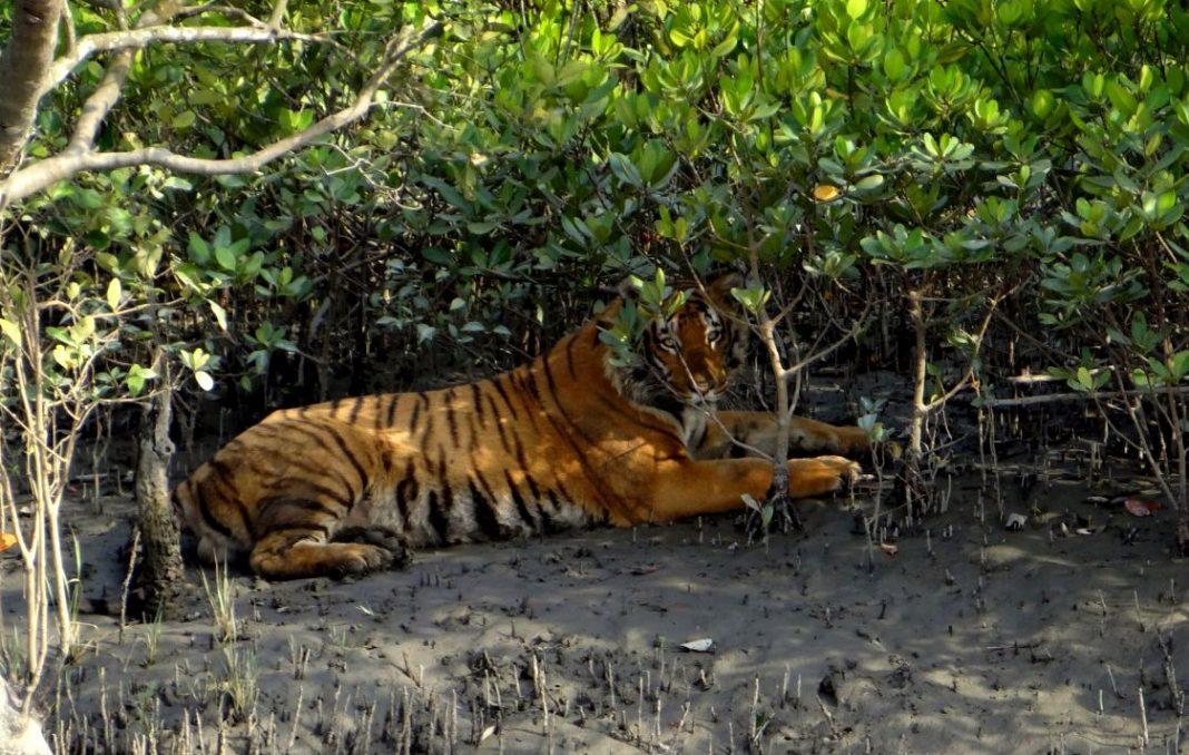 Royal Bengal Tiger at Sunderbans
