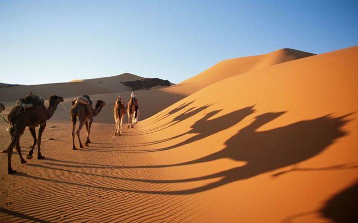 Camel in Sahara desert, Algeria