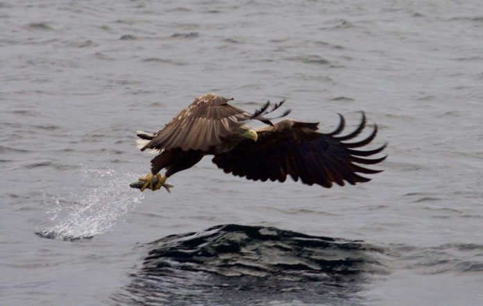 Sea Eagle spotted on the RIB boat safari