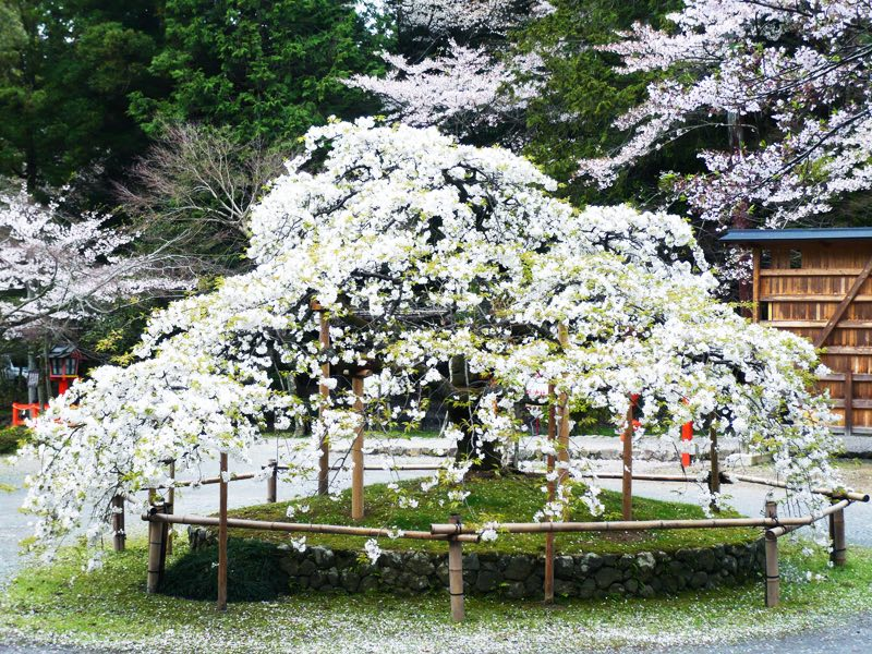 Sengan-sakura at Oharano Shrine