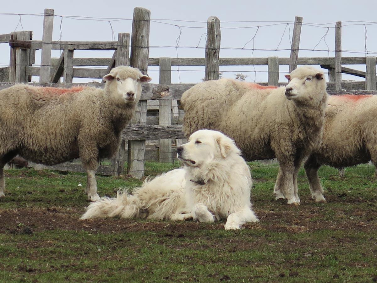 Sheep dog guarding his flock