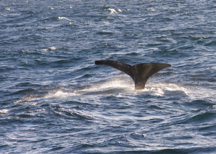 Characterstic whale flukes of a sperm whale