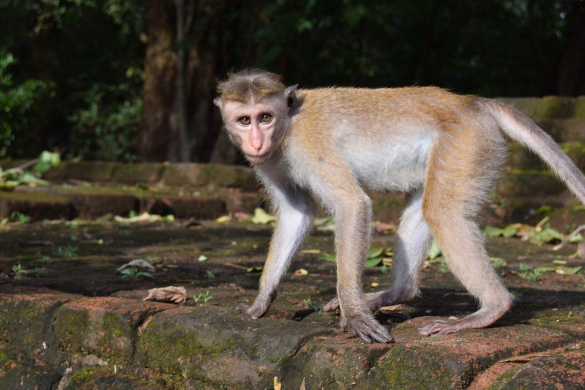 Sri Lanka Polonnaruwa monkey